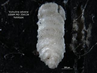 To NMNH Paleobiology Collection (Vulvulina advena USNM354134 holo 1)