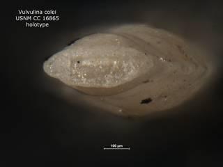 To NMNH Paleobiology Collection (Vulvulina colei CC 16865 holo ap)
