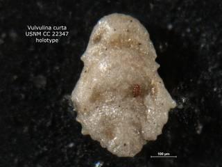 To NMNH Paleobiology Collection (Vulvulina curta CC 22347 holo)