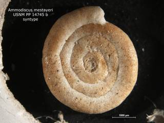 To NMNH Paleobiology Collection (Ammodiscus mestayeri PP14745B syn)