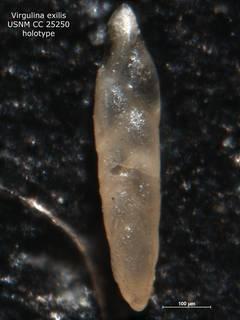 To NMNH Paleobiology Collection (Virgulina exilis CC 25250 holo)