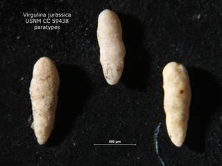 To NMNH Paleobiology Collection (Virgulina jurassica CC 59438 paras)