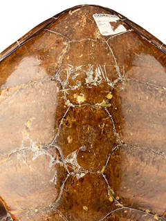 To NMNH Extant Collection (USNM 279320 dorsal)