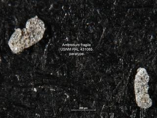 To NMNH Paleobiology Collection (Ammotium fragile PAL 431085 paras)