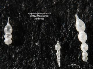 To NMNH Paleobiology Collection (Amphicoryna camachoi MO 639569 para)