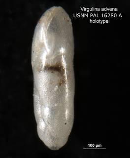 To NMNH Paleobiology Collection (Virgulina advena PAL 16280a holo 2)