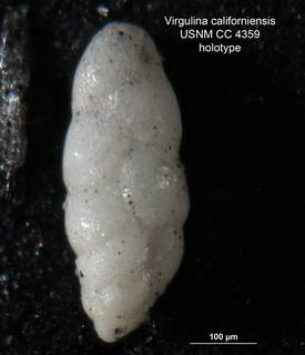 To NMNH Paleobiology Collection (Virgulina californiensis CC4359 holo 1)