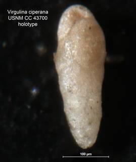 To NMNH Paleobiology Collection (Virgulina ciperana CC43700 holo)