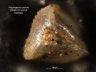 To NMNH Paleobiology Collection (Angulogerina eximia CC 22478 holo 2)