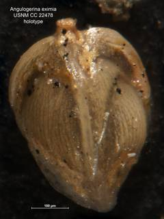 To NMNH Paleobiology Collection (Angulogerina eximia CC 22478 holo)
