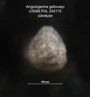 To NMNH Paleobiology Collection (Angulogerina gallowayi 243175 para c rt)