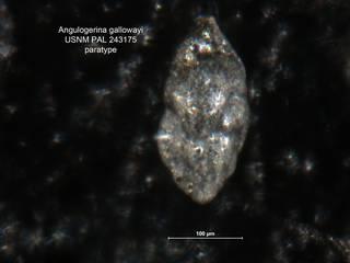 To NMNH Paleobiology Collection (Angulogerina gallowayi 243175 para lt)