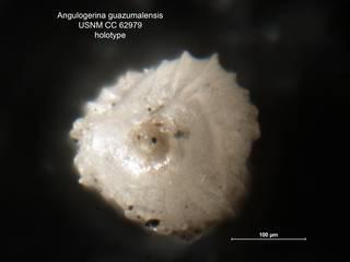 To NMNH Paleobiology Collection (Angulogerina guazumalensis CC62979 holo ap)