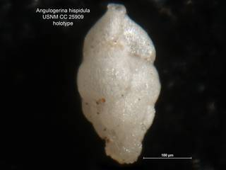 To NMNH Paleobiology Collection (Angulogerina hispidula CC25909 holo)
