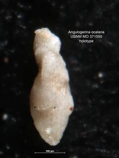To NMNH Paleobiology Collection (Angulogerina ocalana MO 371550 holo)