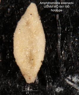 To NMNH Paleobiology Collection (Amphitremoida eisenacki holo USNM 641190)
