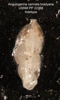 To NMNH Paleobiology Collection (Angulogerina carinata bradyana holo USNM 22368)