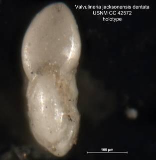 To NMNH Paleobiology Collection (Valvulineria jacksonensis var. dentata CC42572 holo 3)