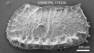 To NMNH Paleobiology Collection (Bradleya arata USNM PAL 174336)