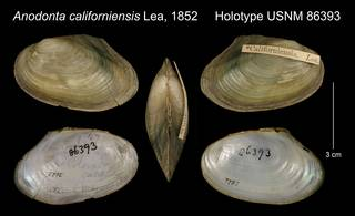 To NMNH Extant Collection (Anodonta californiensis Lea, 1852     Holotype USNM 86393)