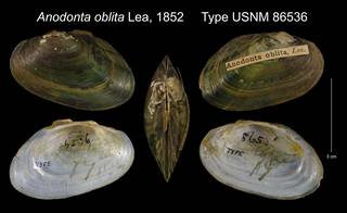 To NMNH Extant Collection (Anodonta oblita Lea, 1852 Type USNM 86536)