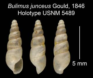 To NMNH Extant Collection (Bulimus junceus Gould, 1846     Holotype USNM 5489)