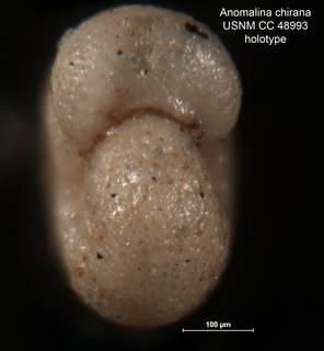 To NMNH Paleobiology Collection (Anomalina chirana CC 48993 holo 2)