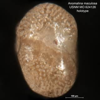 To NMNH Paleobiology Collection (Anomalina maculosa MO 624126 holo 2)