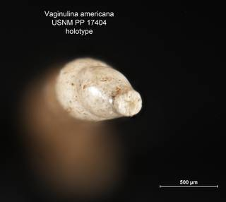 To NMNH Paleobiology Collection (Vaginulina americana PP17404 holo 2)