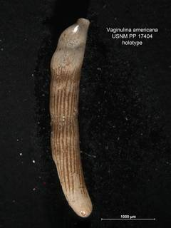 To NMNH Paleobiology Collection (Vaginulina americana PP17404 holo 1)