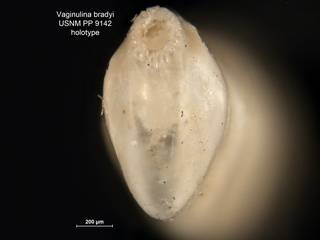 To NMNH Paleobiology Collection (Vaginulina bradyi PP9142 holo 2)