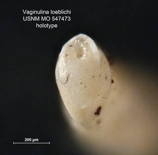 To NMNH Paleobiology Collection (Vaginulina loeblichi MO547473 holo 2)