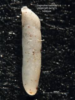 To NMNH Paleobiology Collection (Vaginulina loeblichi MO547473 holo 1)