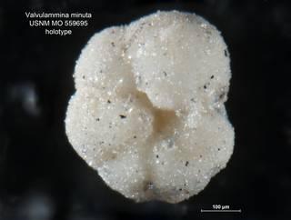 To NMNH Paleobiology Collection (Valvulammina minuta MO559695 holo 2)