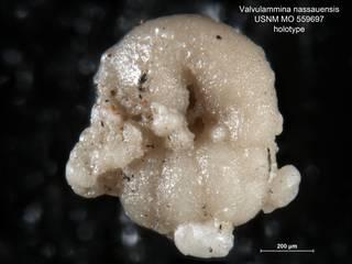 To NMNH Paleobiology Collection (Valvulammina nassauensis MO559697 holo 2)