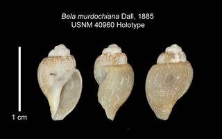 To NMNH Extant Collection (IZ MOL 40960 Holotype Shell Plate)