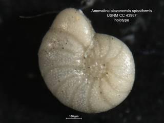 To NMNH Paleobiology Collection (anomalina alazanensis var spissiformis CC43987 holo)