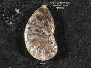 To NMNH Paleobiology Collection (Astacolus agalmatus PAL104945 holo 1)