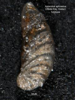 To NMNH Paleobiology Collection (Astacolus aphrastus PAL104941 holo)