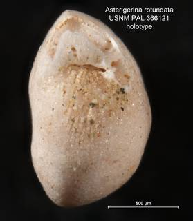 To NMNH Paleobiology Collection (Asterigerina rotundata PAL 366121 holo 2)