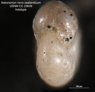 To NMNH Paleobiology Collection (Astrononion novozealandicum CC 23639 holo 2)