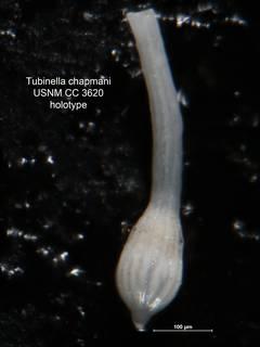 To NMNH Paleobiology Collection (Tubinella chapmani CC 3620 holo)