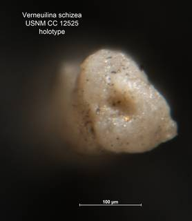 To NMNH Paleobiology Collection (Verneuilina schizea CC 12525 holo ap)