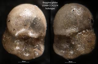 To NMNH Paleobiology Collection (Baggina gibba CC 42374 holo)