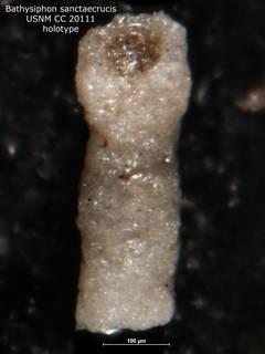 To NMNH Paleobiology Collection (Bathysiphon sanctaecrucis CC20111 holo)