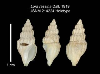 To NMNH Extant Collection (IZ MOL 214224 Holotype Shell Plate)