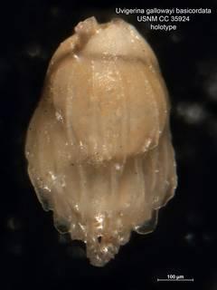 To NMNH Paleobiology Collection (Uvigerina gallowayi basicordata CC35924 holo 1)