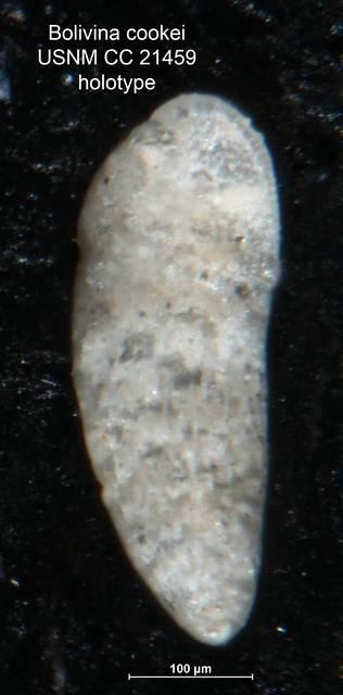 To NMNH Paleobiology Collection (Bolivina cookei CC21459 holo)