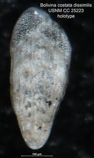 To NMNH Paleobiology Collection (Bolivina costata var dissimilis CC25223 holo)