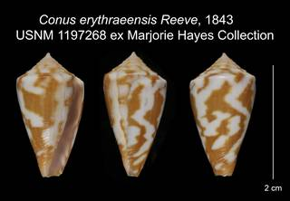 To NMNH Extant Collection (Conus erythraeensis USNM 1197268)
